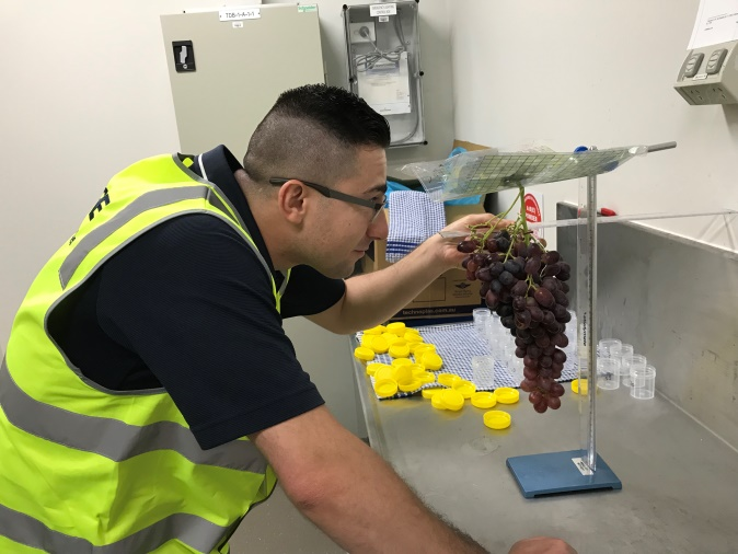 Produce Quality Inspector, Behrang Saber, pictured here in February 2018, measuring a bunch of Crimson Seedless grapes at the Rudge Produce Laboratory in Melbourne. Each individual berry was measured for Brix, acid, size and its 3D position in the bunch.